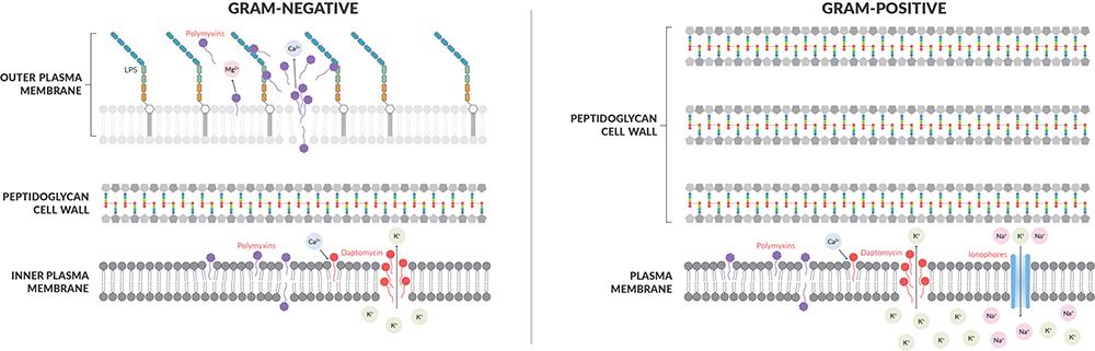 Plasma Membrane Function