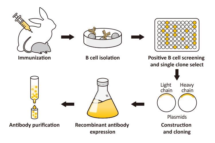 Recombinant Antibodies - Nordic Biosite