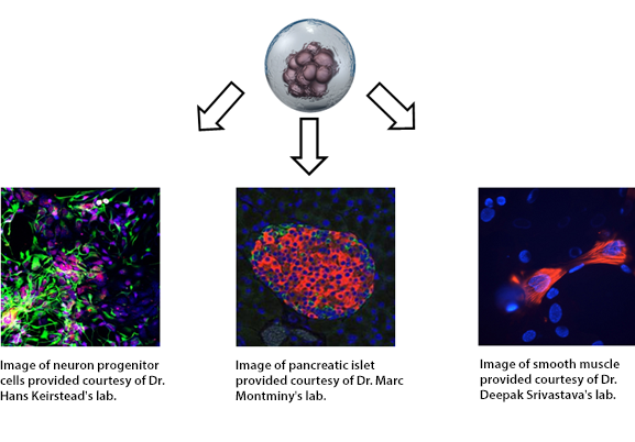 what are stem cells wiki